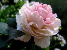 cold porcelain peony