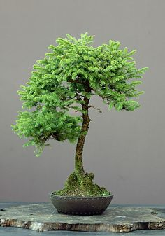 Buy Bonsai Trees - Bonsai Store -The Bonsai Store Buy Bonsai Tree, Pre Bonsai, Bonsai Art, Bonsai Plants, Bonsai Trees, Garden Terrarium, Bonsai Garden, Exotic Flowers, Beautiful Flowers