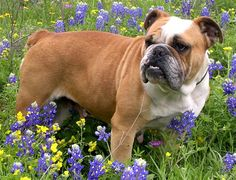 Olde English Bulldogge in a field of Texas bluebonnets.  Two of my favorite things!
