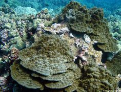 dead white hardened coral reef - Google Search