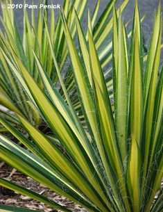 Color Guard Yucca: shade and drought tolerant deer-resistant hardy to zone 5 Color Guard Yucca Small Garden Shrubs, Zone 5 Plants, Drought Tolerant Shrubs, Deer Resistant Plants, Variegated Plants, Color Guard, Outdoor Plants, Outdoor Gardens, Shade Plants