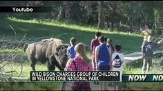 Bison charges group of children after adult encourages them to approach the lone animal. Very dangerous situation due to adults ignoring the signs and rules to never approach the bison in Yellowstone. There is a reason for the rules. Grand Teton National Park, Yellowstone National Park, National Parks, Bison, Encouragement, The Incredibles, Group, Animal, Signs