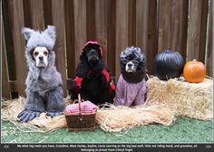 Wow grandma what big teeth you have! Halloween Costume Contest, Halloween Season, Big Teeth, Dog Costumes, Shih Tzu, Dog Mom, Trick Or Treat, Your Dog, Dog Lovers