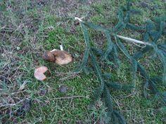 Auch Pilze sind vergänglich(Rhf.-Herten) Foto: Veronika Renner