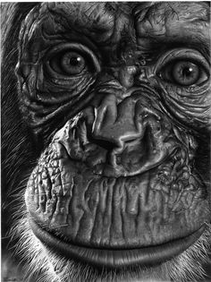 """art by David Thomsen - """"See you. Pencil Drawings Of Animals, Realistic Pencil Drawings, Animal Sketches, Art Drawings Sketches, Wild Photography, Animal Photography, Arte Gcse, Regard Animal, Pencil Portrait Drawing"""