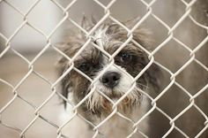 What a sweet but sad face. This little guy is available on 4/10 to be adopted, fostered or rescued! Shih tzu male 1-2 years old. Kennel A12. ADOPT A SHELTER PET AND SAVE A LIFE! PLEASE PM THE GROUP FOR OUT OF STATE ADOPTION INFO. Odessa, TX Animal Control. https://www.facebook.com/speakingupforthosewhocant/photos/a.248402621850650.69312.248355401855372/754249537932620/?type=1&theater
