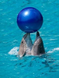Dolphins cooperatively play, I like to think my buddies and I feel the same way when we are diving.