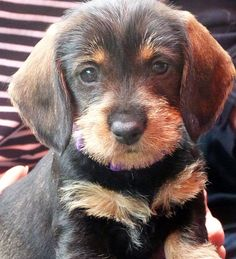 12 Cute Puppies, Cute Dogs, Dogs And Puppies, Pet Puppy, Dog Cat, Beautiful Dog Breeds, Dachshund Love, Daschund, Wire Haired Dachshund