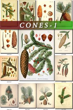 This is a digital download of 170 vintage pictures of fir cones, pinecones and realated in high resolution (300 dpi, sizes from 1900x2800 px to