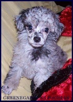 Merle Poodle puppy