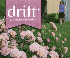 This site suggests planting drift roses with forever roses. Suggested companion plants are delphinium, lavender, nepeta, salvia, dianthus, lychnis, poppy, alliums, chives, parsley, thyme, scented geraniums, marigolds, rosemary, daylilies, clematis, artemisia, spring bulbs, peonies, cosmos, spider flower, coleus and boxwood.