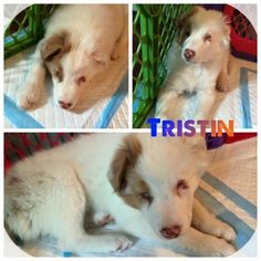 Tristan is a beautiful blind and deaf female 14 week old Australianow shepherd. Working on housebreaking and doing well! She is still looking for a foster home or even better forever home where she can build her confidence and continue to grow and learn. She will be a larger girl, probably 50 lbs! Father was a 60 pound red Merle and mom a 50 lb blue Merle! Needs to have another dog with her as well as a