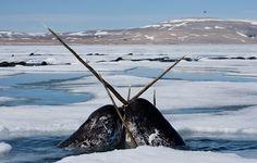 Diese Tiere tummeln sich im Lancaster Sund, einer Meerenge im äußersten Norden Kanadas.Im mittelalterlichen Europa wurde das Horn des Narwals als Beleg für die Existenz des Einhorns gesehen. Sogar die Kirche maß ihnen große Bedeutung zu und verehrte sie gar als Reliquie. Erst im 17. Jahrhundert erkannten Naturforscher ihre eigentliche Herkunft. Von der Jagd durch den Menschen sind Narwale heute nicht mehr bedroht, nur für die Inuit Grönlands und Kanadas gelten Sonderregelungen. Gegenwärtig…