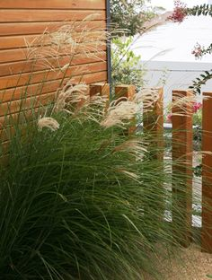 Miscanthus sinensis 'Gracillimus' is a large graceful arching grass that provides a soft dynamic element to the landscape when used on mass.