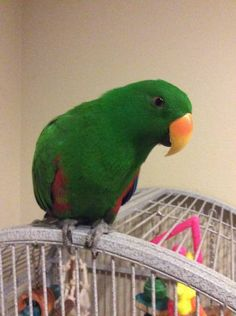 LOST ECLECTUS: 02/05/2017 - Fairbanks Ranch, California, CA, United States. Ref#: L28558 - #ParrotAlert #LostBird #LostParrot #MissingBird #MissingParrot #LostEclectus #MissingEclectus
