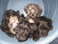 Schnoodle puppies!