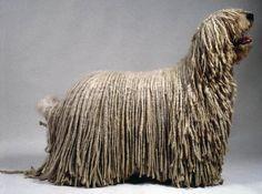 koomoodor dog | The Komondor – Hungarian Sheep Dog « Janet Carr @