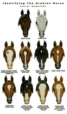 horse skeleton diagram | Horse Breed Descriptions