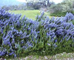 Tuscan Blue Rosemary   maybe in front of azaleas?