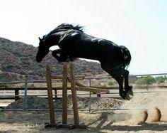 Friesian stallion Sjored jumping 6ft from trot.