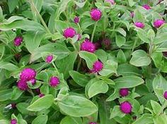 For Clay Soil-Annuals & Bulbs: Globe Amaranth (Gomphrena globosa) Annual. Easily grown in average, well-drained soils in full sun. Although mature plants exhibit good drought resistance, plants grow best with regular moisture throughout the growing season.