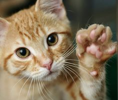 Want to teach your cat a trick that's both cute and helpful? Learn how to train your cat to high-five with tips from trainer Mikkel Becker.