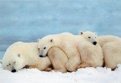 funnywildlife:  Polar Bears by Natallia45 on Flickr.