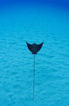 Eagle Ray, Caribbean living