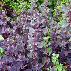 "Orach (mountain spinach) *FULL SUN* - height: 72"", spacing: 15""; 1,000 seeds, 2 seeds per plant; Yield: 500 plants"