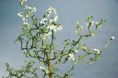 Flowering Orange Poncirus trifoliata contorta 'Flying Dragon' at Essence of the tree