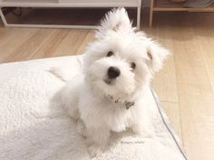 10 Cutest Westies to Follow on Instagram | Vanillapup