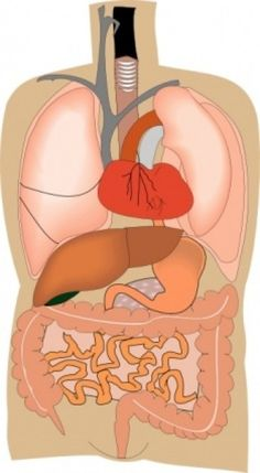 Hier kun je zien op welke plaats je organen zitten.