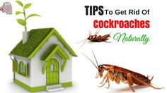 Cockroaches, though small in shape and size, can cause serious trouble to homeowners. Fortunately, there are numerous natural ways to bid good bye to these dirty and unhealthy pests.