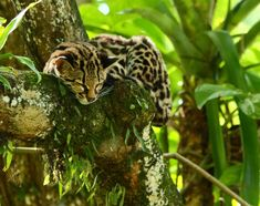 Support our work to stop slash and burn and help this beautiful Margay cat, along with thousands of other species in Pico Bonito National Park, to continue to sleep in peace.  (Photo Credit: James Adams)