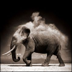 Nick Brandt Elephant with Exploding Dust, Amboseli, 2004 Platinum print Signed, numbered and dated by artist in pencil 71 x 71 cm  Edition of 30 Courtesy of the artist and ATLAS Gallery.