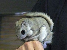 Japanese dwarf flying squirrel by Chkyang Nature Animals, Animals And Pets, Baby Animals, Funny Animals, Cute Animals, Japanese Dwarf Flying Squirrel, Baby Squirrel, Hamsters, Rodents