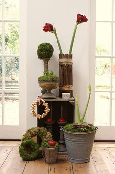 Amaryllis bulbs pine cones and pine on pinterest for Amaryllis deco