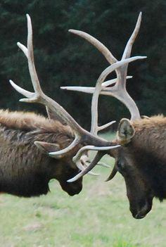 Northern California Elk.