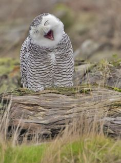 Owl Yawn - A day with Snowy Owls in Washington ... Thur Dec 13, 2012