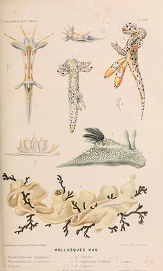 Nudibranchsby BioDivLibrary on Flickr.  Le monde de la mer ….Paris,L. Hachette & Cie,1866..biodiversitylibrary.org/page/2073369