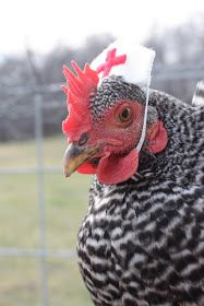 Chickens in Halloween costumes blog. Who knew?