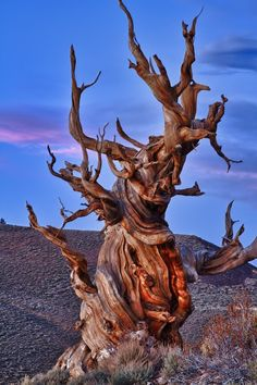 Prometheus was the oldest known non-clonal organism, a Great Basin Bristlecone Pine (Pinus longaeva) tree, possibly more than 5000 years old.