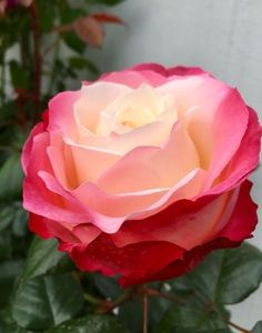 ~ What a Beautiful Rose ~ Beautiful Rose Flowers, Exotic Flowers, Rosa Rose, Rose Pictures, Flower Images, My Flower, Pink Roses, Planting Flowers, Flower Arrangements