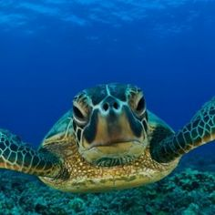 Snorkel with the turtles in Akumal Bay and Swim in an Ancient Cenote - Riviera Maya, Mexico! www.wetset.com/akumal