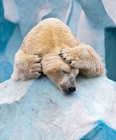 when I was in 3 grade. I did a report on polar bears. aren't they adorable! Baby Polar Bears, Cute Polar Bear, Beautiful Creatures, Animals Beautiful, Animals Images, Cute Animals, Carosel Horse, Bear Photos, Love Bear