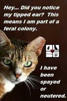 TNR (Trap, Neuter, Release)   Feral cats that have been spayed/neutered have their left ear clipped at the point to indicate status