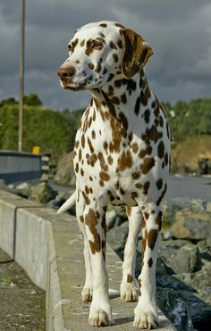 Dalmatian...livered spotted. A penomenal bred of dog. Gentle, loving, and kind. Bred them.
