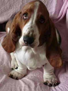 Hound puppies - 16 Reasons Basset Hounds Are Not The Friendly Dogs Everyone Says They Are Basset Puppies, Hound Puppies, Basset Hound Puppy, Cute Puppies, Cute Dogs, Dogs And Puppies, Doggies, Beagles, Beagle Mix