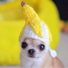 Chihuahua Hats - The Cutest Hats For Chihuahuas - Chiwawa Dog Funny Animal Jokes, Cute Funny Animals, Funny Dogs, Baby Animals Super Cute, Cute Little Animals, Baby Animals Pictures, Cute Animal Pictures, Chihuahua Puppies, Cute Dogs And Puppies