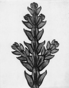 Karl Blossfeldt Black and white photography Karl Blossfeldt, Fine Art Photography, Nature Photography, Photography Website, White Photography, Natural Form Art, Socialist Realism, Nature Plants, Science Art
